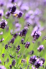 Lavender purple flowers, field, meadow, blurred close-up