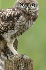 Preview iPhone wallpaper Little owl, wing feathers, tree stump