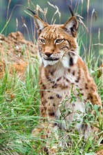 Preview iPhone wallpaper Lynx in the wild bushes