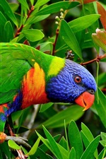 Preview iPhone wallpaper Multicolor Lorikeet parrot, can you see it?