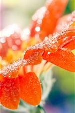 Preview iPhone wallpaper Orange gerbera flower petals, water drops, macro photography