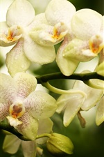 Preview iPhone wallpaper Orchid, phalaenopsis, flowers close-up