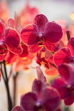 Preview iPhone wallpaper Orchid phalaenopsis, red color flowers