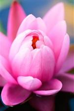 미리보기 iPhone 배경 화면 핑크 물 백합 꽃 근접