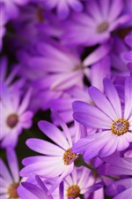 Purple daisies, petals, flowers, macro photography