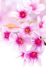 Primavera flores de cerejeira, flores cor de rosa, close-up