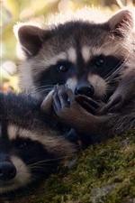Three cute raccoons