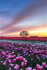 Preview iPhone wallpaper Tulips flower field, evening sunset, colorful scenery