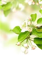 미리보기 iPhone 배경 화면 봄에 하얀 사과 꽃