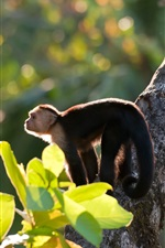 Preview iPhone wallpaper White-headed capuchin monkeys