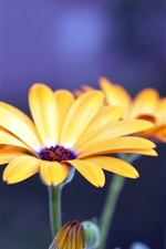 Preview iPhone wallpaper Yellow gerbera flower close-up, blue background