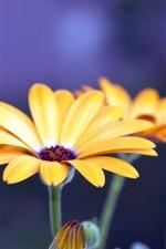 Yellow gerbera flor close-up, fundo azul