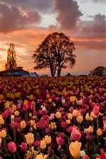Preview iPhone wallpaper A lot of tulip flowers, warm sunset, fields