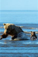 Preview iPhone wallpaper Bear and bear babies hunting fish in the water
