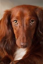 Brown dog, long ears