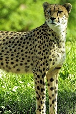 Cheetah in the forest, grass, green