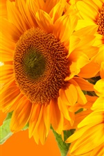 Preview iPhone wallpaper Golden sunflowers, orange background, glare rays