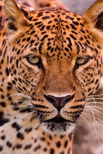 Preview iPhone wallpaper Leopard face and eyes, predator animals