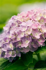 Preview iPhone wallpaper Nature plants, flowers, hydrangea, blossom, green leaf