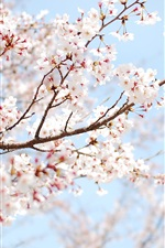 Preview iPhone wallpaper Spring pink cherry blossoms twig close-up
