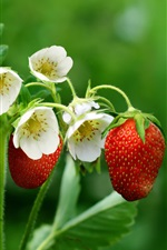 Preview iPhone wallpaper Strawberries, flowers, leaves, green background