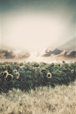 Preview iPhone wallpaper Sunflowers, fields, rain, clouds, sun