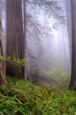 Preview iPhone wallpaper USA, California, Redwoods, morning, forest, mist, spring landscape