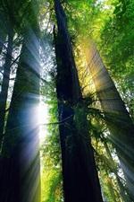 USA, California, summer forest, trees, sun rays