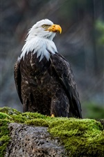 Preview iPhone wallpaper Bald eagle