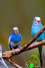 Preview iPhone wallpaper Budgies birds photography