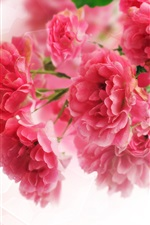 Preview iPhone wallpaper Close-up of pink carnation flowers