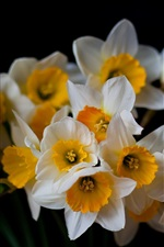 Preview iPhone wallpaper Daffodils, flowers close-up, black background