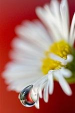 Daisy flower water drop close-up