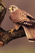 Preview iPhone wallpaper Falcon, brown feathers, tree branch