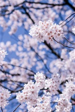 Preview iPhone wallpaper Japan, Matsumoto, Nagano Prefecture, cherry flowers bloom