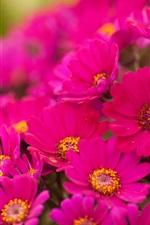 iPhone fondos de pantalla Muchos rosa brillante crisantemo