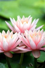 Preview iPhone wallpaper Pink water lilies, flower petals