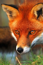 Preview iPhone wallpaper Red fox face and eyes
