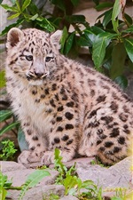 Preview iPhone wallpaper Small snow leopard