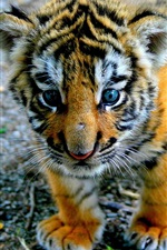 Preview iPhone wallpaper Tiger baby close-up