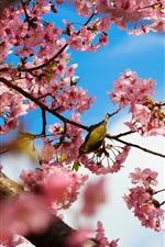 Tokyo Japan, park cherry trees, pink flowers, bird