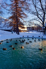 Preview iPhone wallpaper Winter, snow, trees, pond, ducks
