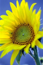 Preview iPhone wallpaper Yellow sunflower, blue background