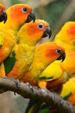 Preview iPhone wallpaper Beautiful birds, yellow parrots