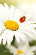 Preview iPhone wallpaper Daisy petals, insect ladybug