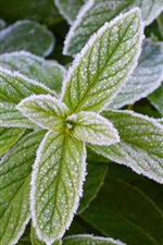 Preview iPhone wallpaper Frost green mint leaves