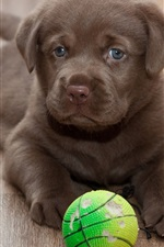 Labrador puppy, play with ball