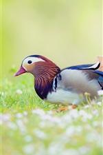 Pato mandarim na grama, fundo desfocado