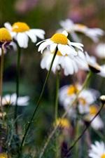 Summer daisies white flowers