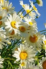 미리보기 iPhone 배경 화면 하얀 꽃잎 데이지, 여름